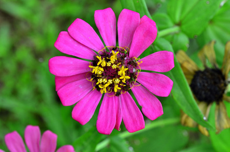 everybody: Pink flower on green leafs as bakground, daisy floral, florist, Zinnia elegans, poorhouse flower, everybody flower