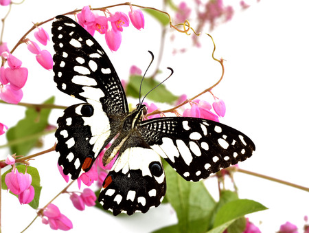Beautiful Lime Butterfly perching on pink coral vine or mexican creeper flower photo