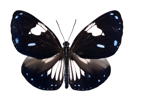 Beautiful Magpie Crow Butterfly (Euploea radamanthus) isolated on white background photo