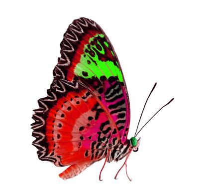 mariposa verde: Hermoso rojo y verde de la mariposa aislado en fondo blanco Foto de archivo
