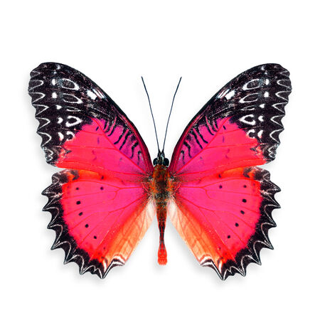 biblis: Beautiful Red Butterfly (Red Lacewing) in color transparency of fancy