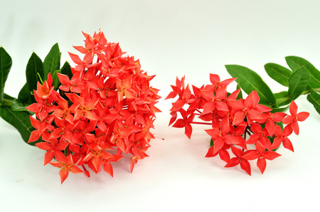 Beautiful Red Ixora ( Coccinea) flowers on white background photo