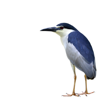 Black-crowned Night Heron bird standing on the ground isolated on white background (nycticorax paddies) photo