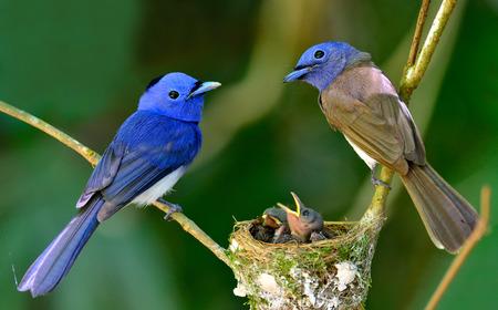 黒い naped 青いヒタキ親ガード偉大な青い鳥の家族愛と巣の雛 写真素材