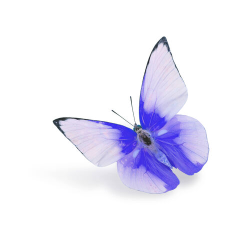 blue Butterfly flying (Indian Cabbage) isolated on white background photo