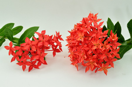 Red Ixora ( Coccinea) flowers on white background photo