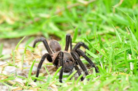 Tarantula spider, Poecilotheria Metallica, among green grass enviroment photo