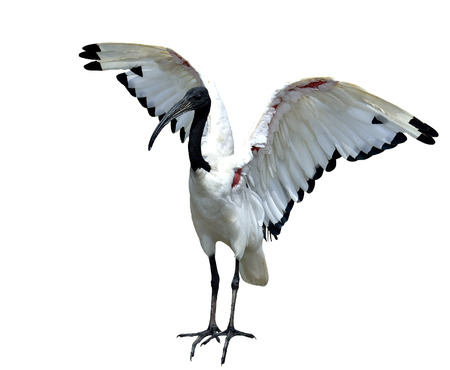 African sacred ibis (Threskiornis aethiopicus) opening its wings and ready to fly photo