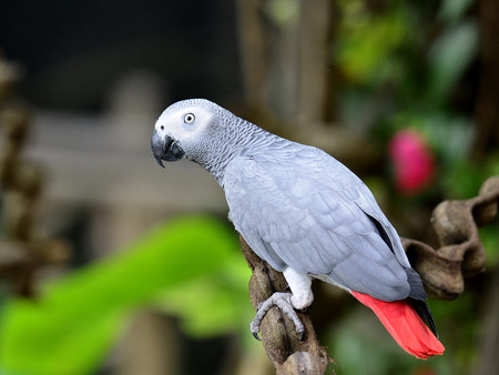 erithacus: Beautiful African Grey Parrot (Psittacus erithacus) Stock Photo