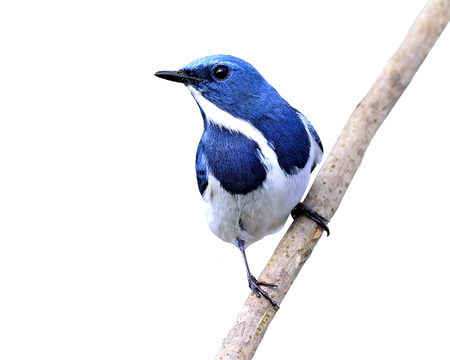ultramarine blue: Beautiful Blue Bird, Ultramarine Flycatcher (ficedula superciliaris) perching on the branch isolated on white background