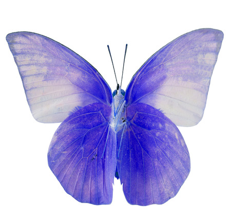 Beautiful blue cabbage butterfly, colorful indian cabbage butterfly isolated on white background photo