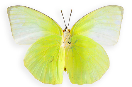 Beautiful cabbage butterfly or indian cabbage butterflyin natural color isolated on white background photo
