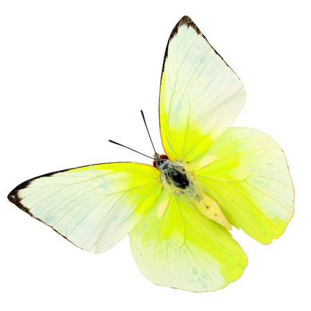 Beautiful cabbage butterfly, colorful indian butterfly isolated on white background photo