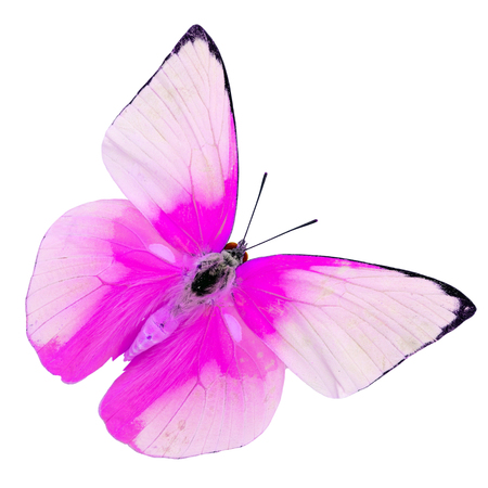 Beautiful color of cabbage butterfly, Sweet Pink indian butterfly isolated on white background photo