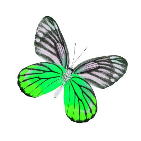 mariposa verde: Mariposa verde Hermosa (Painted Jezabel) aislado en fondo blanco