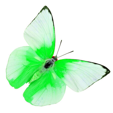 Beautiful green cabbage butterfly, colorful indian cabbage butterfly isolated on white background photo