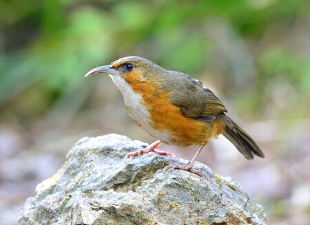 scimitar: Beautiful long bills bird, Rusty-cheeked scimitar babbler, standing on the rock with blue background