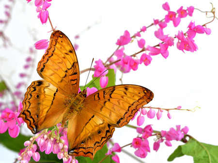 pink cruiser: Beautiful of Common Cruiser or Malayan Cruiser Butterfly perching on Pink coral vine, chain of love or mexican creeper flowers Stock Photo