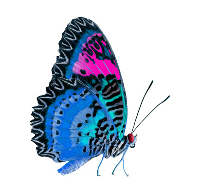 biblis: Beautiful Pink and Blue butterfly isolated on white background Stock Photo