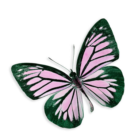 Beautiful Pink Butterfly isolated on white background with soft shadow photo
