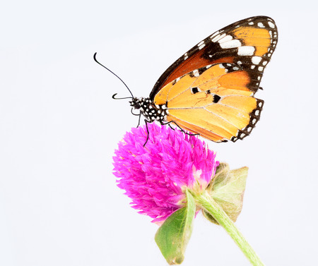 butterfly on flower: Beautiful Plain Tiger butterfly perching on pink flower on white background