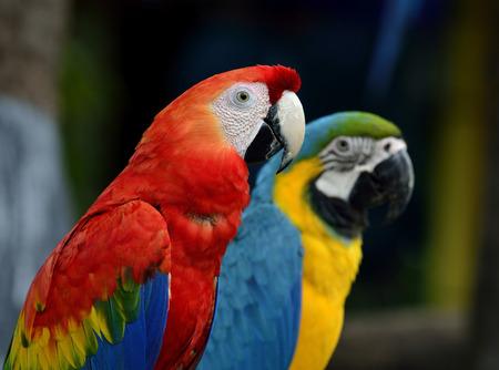青金剛インコ オウム鳥一緒に座っていると美しい緋色のコンゴウインコ