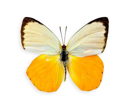 オレンジ移民蝶上の最高の翼の白い背景で隔離のプロファイル