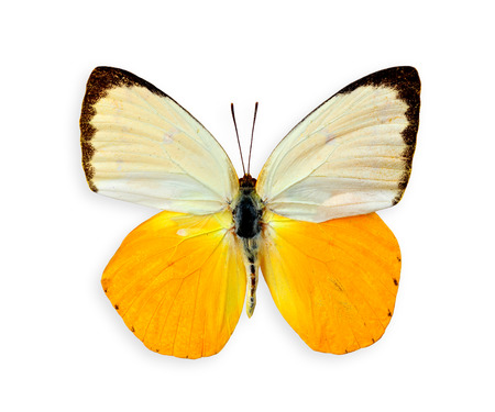 Best of Orange Emigrant Butterfly upper wings profile isolated on white background