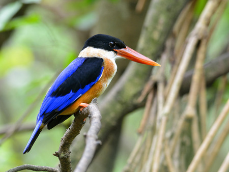red bills: Black-capped Kingfisher (Halcyon pileata) beautiful bird with red bills, blue wings and black head