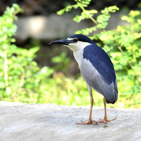 prin: -Negro coronada de aves de pie en el suelo con los pies a la cabeza los detalles (arrozales nycticorax) Foto de archivo