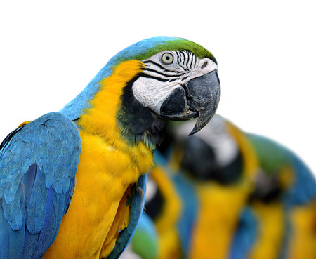 Blue and gold macaw birds on white background Stock Photo