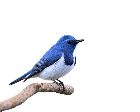 Blue Bird, Ultramarine Flycatcher, perching on branch isolated on white background (ficedula superciliaris)