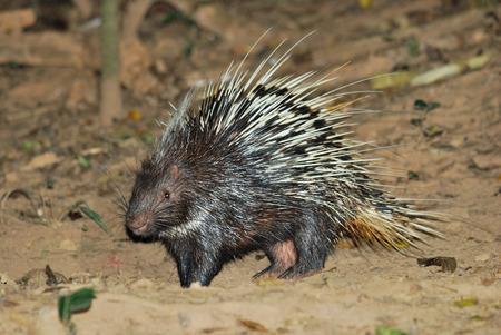 prin: Living Porcupine en la noche en busca de alimento