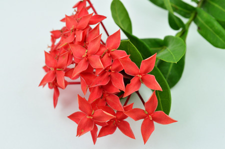 Red Ixora ( Coccinea) flower on white background photo