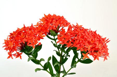 赤イクソラ (コクシネア) 白い背景の上の美しい花