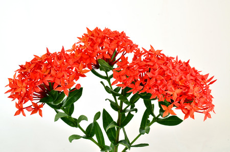 Red Ixora (Coccinea) the Beautiful Flower on white background