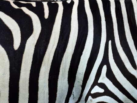 seamless zebra pattern as texture and background