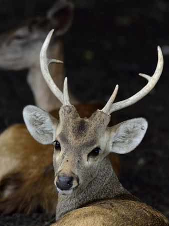 black tail deer: Wild deer in head shot with nice horn