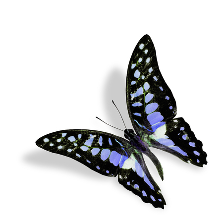 Beautiful Blue Flying butterfly, Common Jay in fancy color, isolated on white background with soft shadow photo