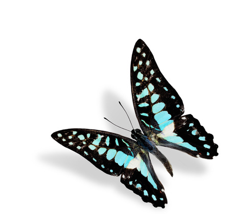 Beautiful Flying Common Jay Butterfly photo