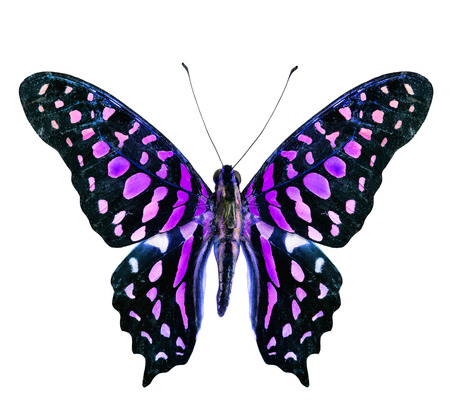 Beautiful flying purple and black butterfly isolated on white background photo