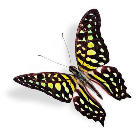 Beautiful Flying Yellow spot butterfly, tailed jay in fancy color with soft shadow photo