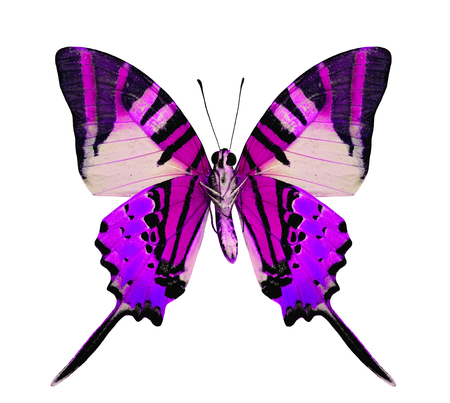 Beautiful purple butterfly in fancy color isolated on white background