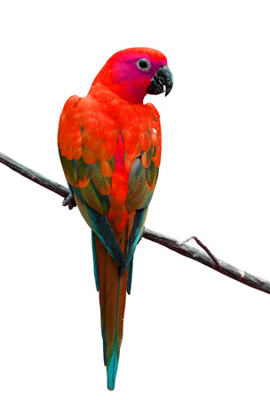 Coloful of Red parrot bird isolated on white background photo