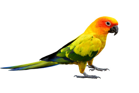 Colorful Sun Conure, the very beautiful standing yellow parrot bird isolated on white background Фото со стока