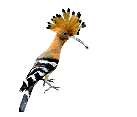 一般的なまたはユーラシア ヤツガシラ、白い背景上に分離されて素敵な紋付きと先端のとがった髪鳥