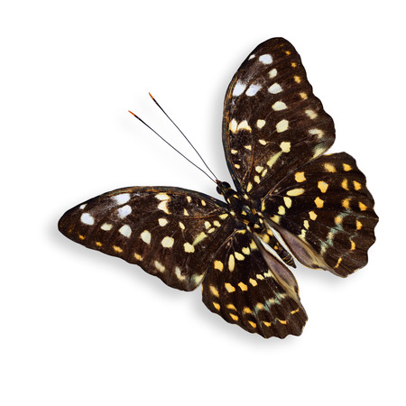 archduke: Flying Great Archduke Butterfly with soft shadow beneath Stock Photo