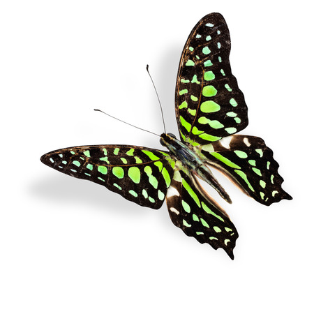Flying green spot butterfly, tailed jay, with soft shadow beneath photo