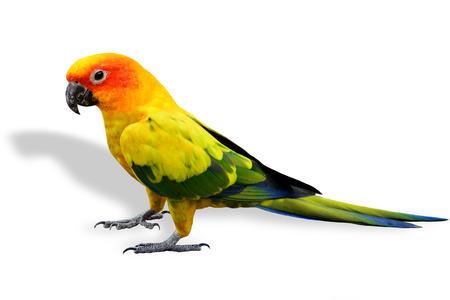 コガネメキシコインコ、白い背景上に分離されてカラフルな立っている黄色いオウム鳥 写真素材