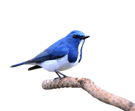 ultramarine: Great blue bird,Ultramarine flycatcher posing on the branch isolated on white background Stock Photo